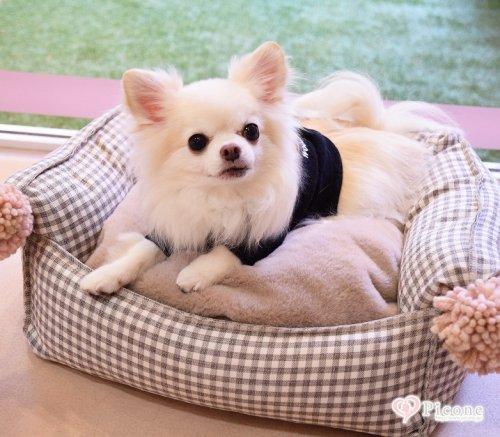 【Louis dog】 Egyptian Cotton Boom/Pompom