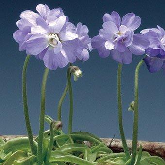 八重咲きムシトリスミレ「プリムリフローラ」
