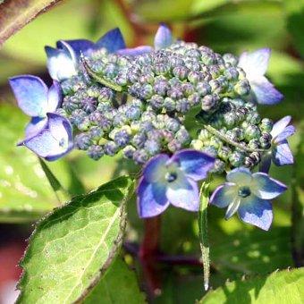 山アジサイ 「藍姫」