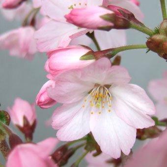 御殿場桜3寸ポット苗