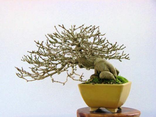 匂い楓(においかえで) ※鉢:鴻陽