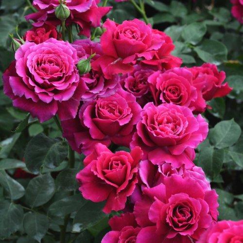 北山ナーセリー】薔薇(バラ)の...