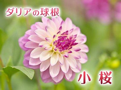 中小輪 ダリア球根:小桜