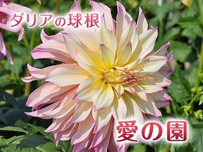 大輪 ダリア球根:愛の園