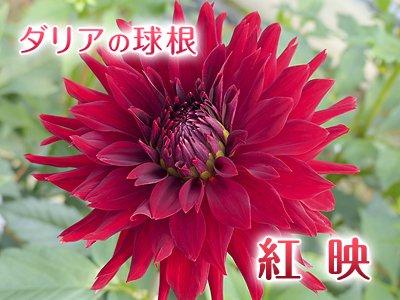 中大輪 ダリア球根:紅映