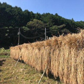 <img class='new_mark_img1' src='https://img.shop-pro.jp/img/new/icons1.gif' style='border:none;display:inline;margin:0px;padding:0px;width:auto;' />自然農法米【幻のお米・農林22号】高知県四万十産 新米5kg 1袋【玄米】