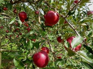紅玉リンゴ5キロ