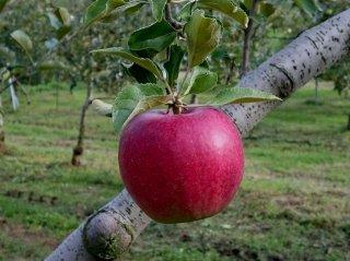 陽光リンゴ5キロ 令和元年産完売しました。