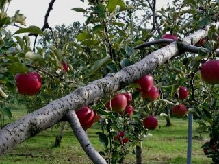 ふじりんご 30年令和元年産予約分終了いたしました。