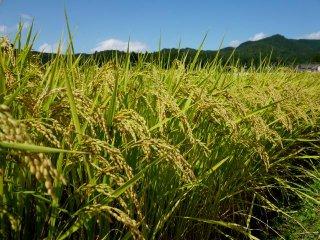 玄米 10キロ