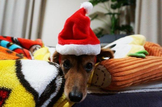 我が家のワンちゃんもメリークリスマス♪【画像2】