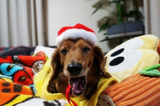 我が家のワンちゃんもメリークリスマス♪【画像7】