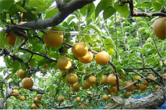 梨農園から梨アイスがうまれる♪