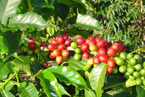 コナコーヒーノキの種