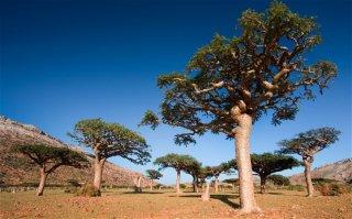 ボスウェリアサクラ(フランキンセンスの木)の種