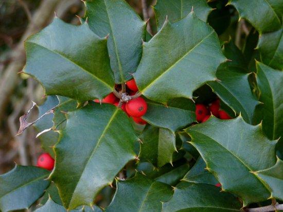 アメリカンホーリー(クリスマスホーリー)の種