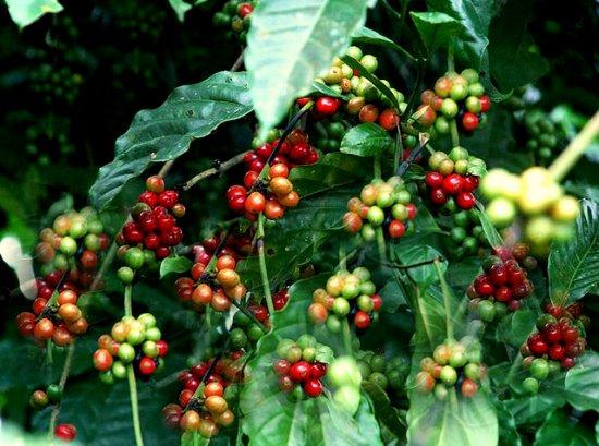 ロブスタコーヒーノキ(キリマンジャロ)の種