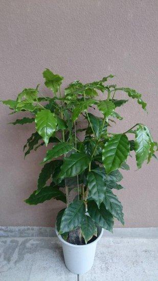 アラビカ(コーヒー)の苗: 6号ポット *実生苗(60〜80cm)