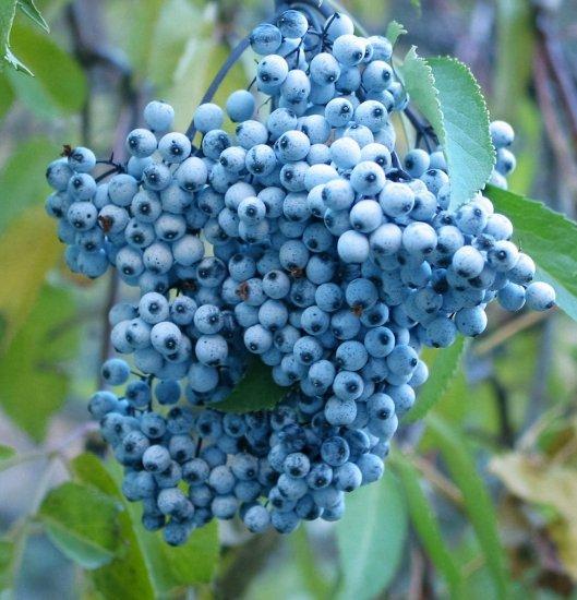 ブルーエルダーベリー(ニワトコ)の種