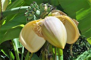 ヘレンズハイブリッドバナナの種