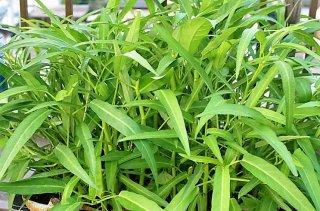 空芯菜(ヨウサイ、エンサイ)の種