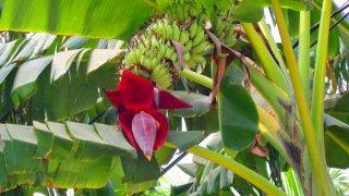 アルナカレンシスバナナの種