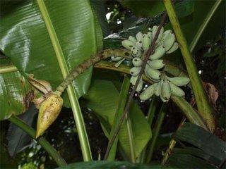 カバラネンシスバナナの種
