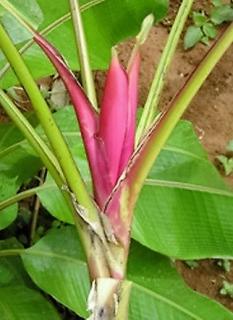ルビネアバナナの種