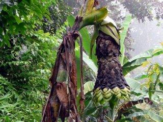 スノーバナナ(エレファントバナナ)の種
