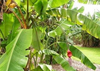 アキュミナータバナナの種