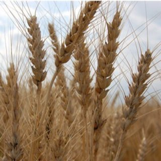ライ麦の種