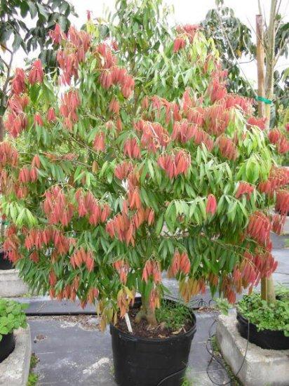 セイロンテツボク(鉄木)の種