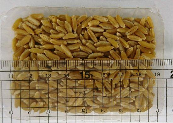 kamut khorasan wheat フタツブコムギ の種 マルシェ青空