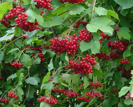 セイヨウカンボク(肝木)の種