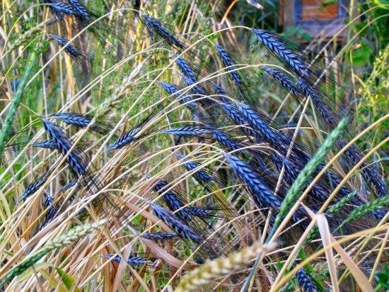Utrecht Blue Wheat(普通系)の種: 籾殻付き