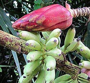 ムルバナナの種