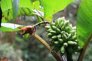 モンティコーラバナナの種