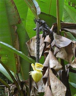 アングカダンバナナの種