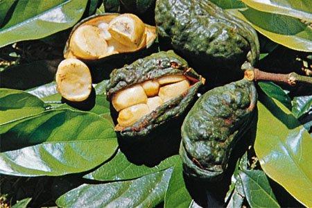 コラノキ(コーラナッツ)の種