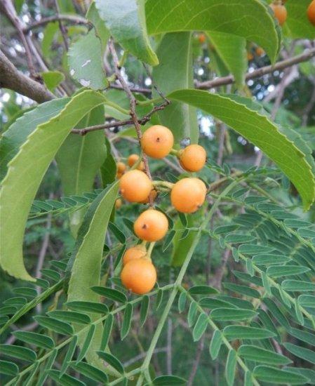 知恵の樹(ジョティスマーティ)の種