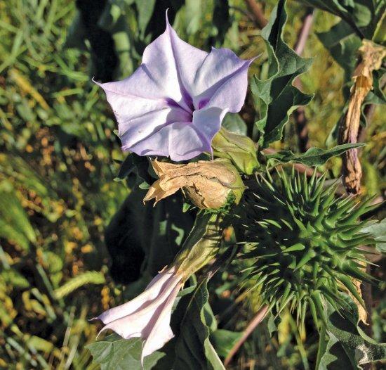 チョウセンアサガオ(パープル)の種