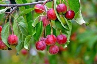 ティークラブアップルの種