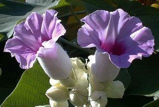 ハワイアンベイビーウッドローズ(オオバアサガオ)の種