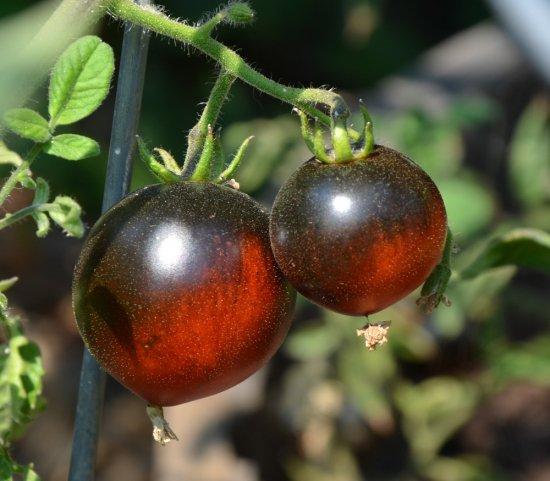 インディゴアップルトマトの種