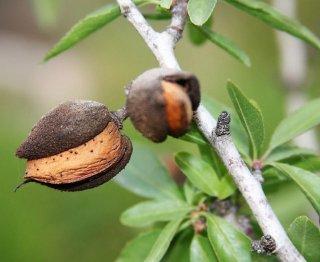 アーモンド(ノンパレイユ)の種