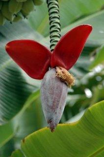 ニューバルビシアーナバナナの種