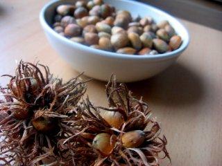 ターキッシュヘーゼルナッツ(トルコハシバミ)の種