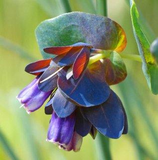 ブルーハニーワート(セリンセマヨール、プルプレッサンス)の種