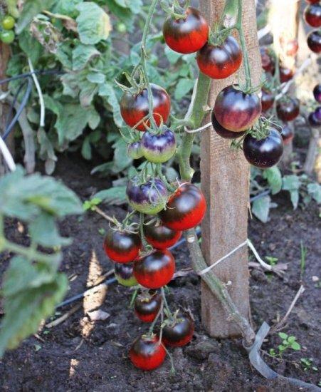 カレイドスコピックジュウェルトマトの種