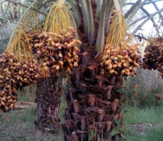 【楽天市場】食べ られる 実 の なる 木の通販